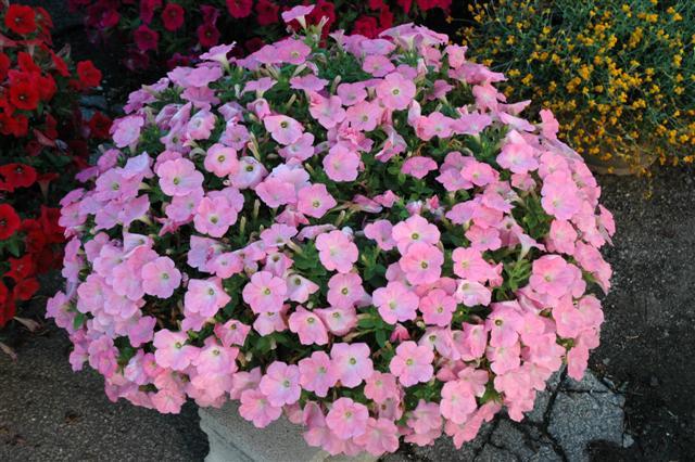 Petunia_flowers (3)