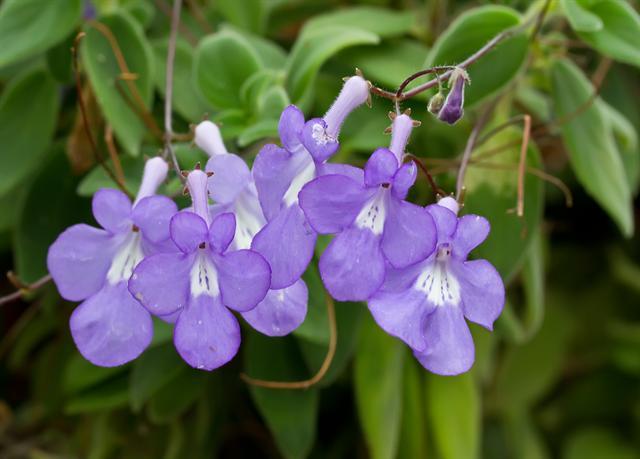 gdr-streptocarpus-saxorum-07325