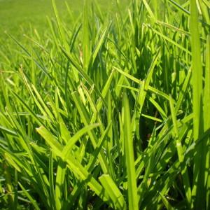 lush_grass