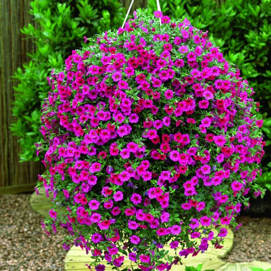 7 beautiful flowers to grow in hanging planters on your porch or balcony better housekeeper - Growing petunias pots balconies porches ...