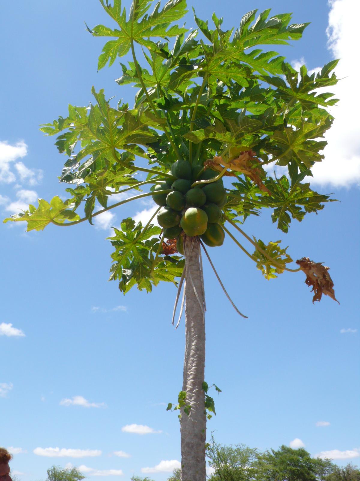 10 exotic fruits and vegetables to grow papaya purple tomatoes malaysian eggplant pineberries