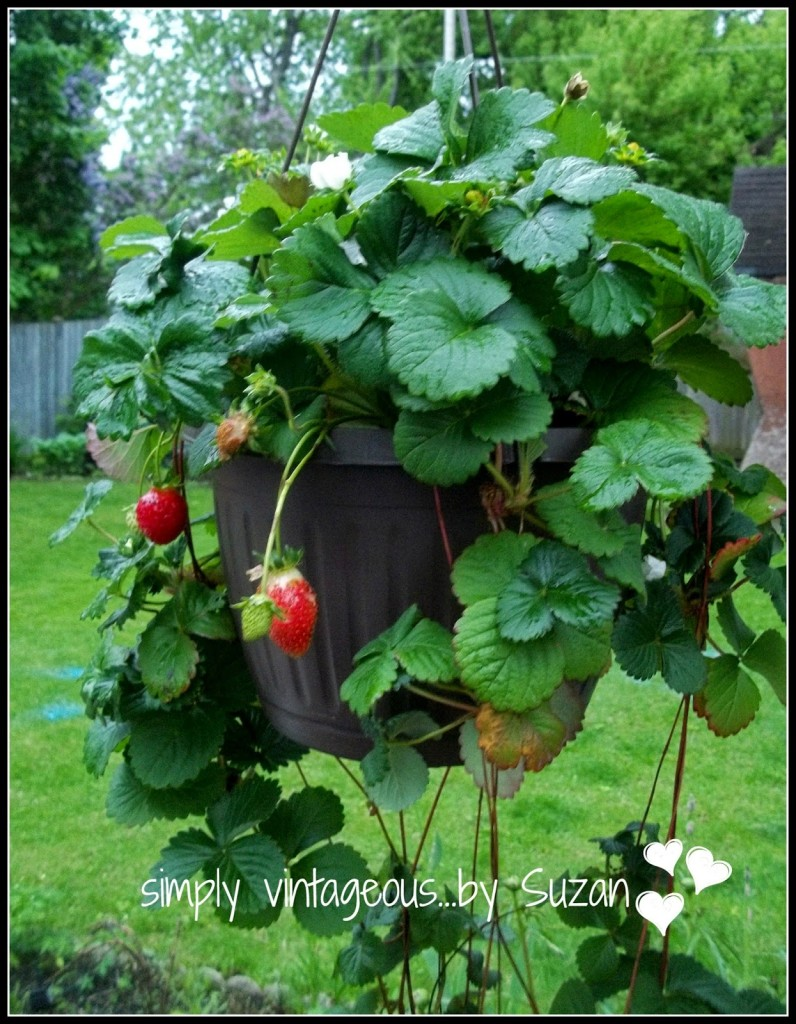 growing strawberries in hanging baskets how to plat
