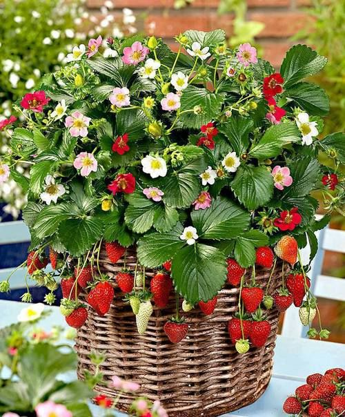 how to grow strawberries in hanging baskets gardening easy organic pots basket soil fresh fruit