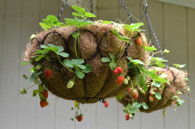 how to plant strawberries in hanging baskets diy garden organic easy