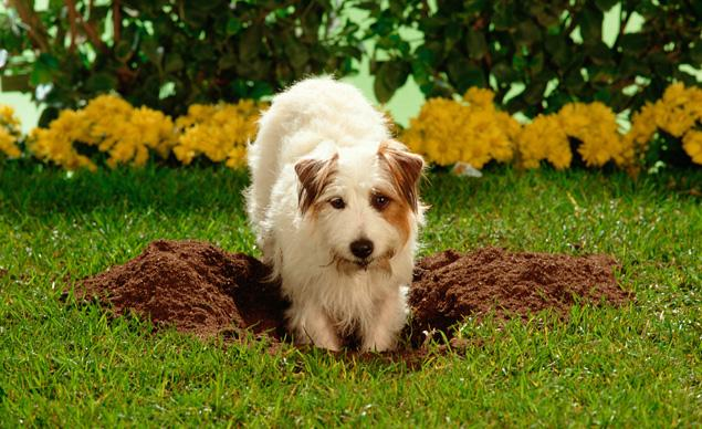 10 Tips for Gardening with Dogs - Here's How to Keep Them and You Garden Safe digging dogouse gardening flowers plants fence gate locked safety training13