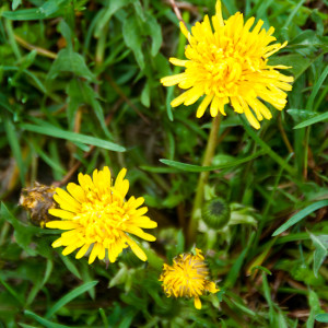 Harvested Dandelions - Use them to heal Everything from Arthritis to Cellulite7