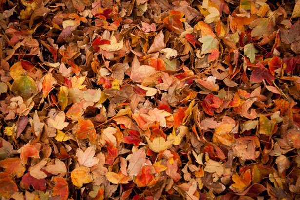 6 Useful Ways to Use Dried Up Fall Leaves kindling crafts mulch fertilizer lawn plants gardening compost2