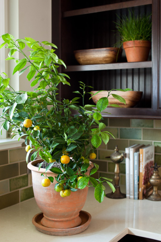 indoor lemon tree how to care