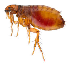 how to remove flea pests summer home