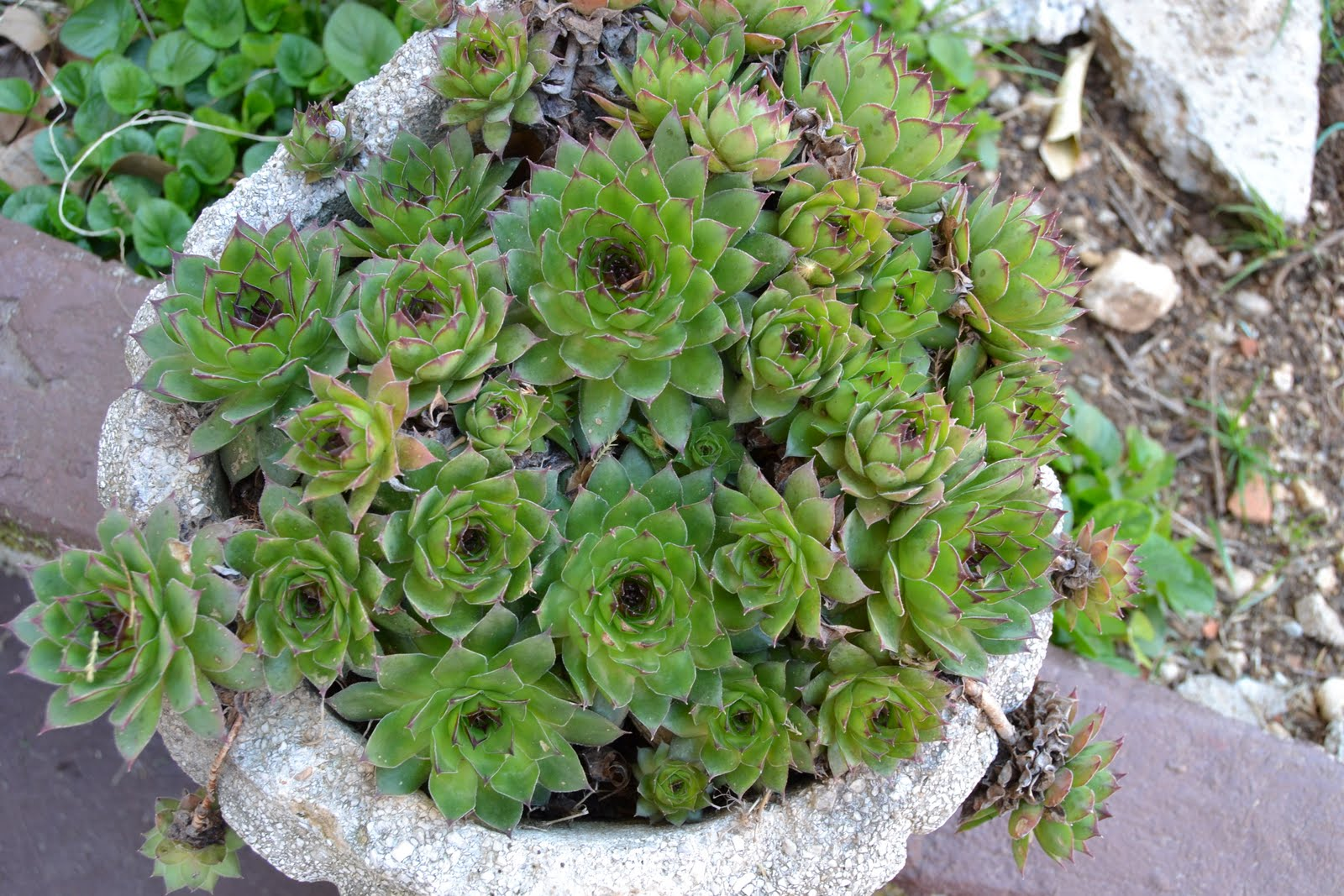 everything you needd to know about succulents care potting watering houseleek