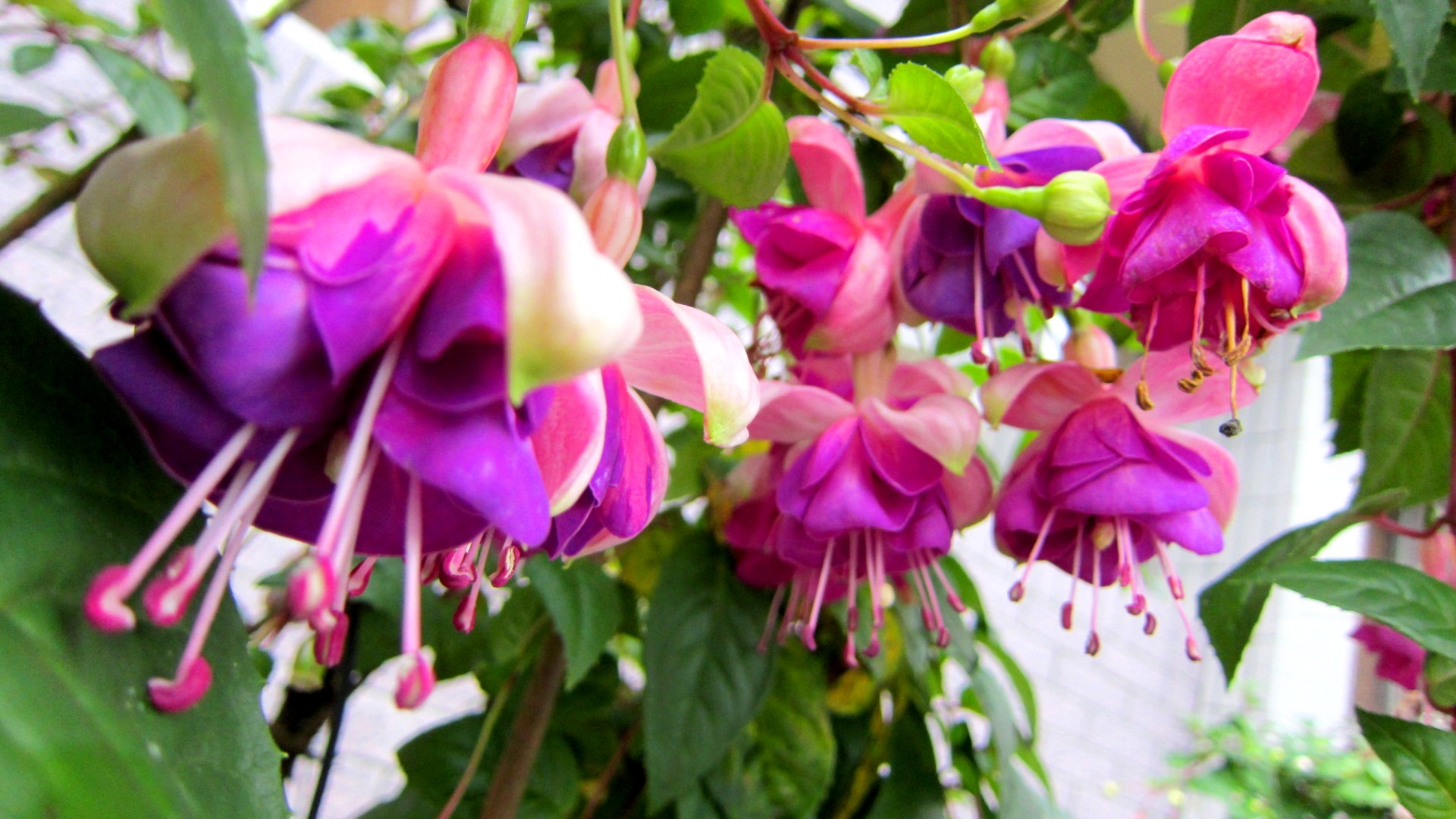 Fuchsia HD Desktop Background
