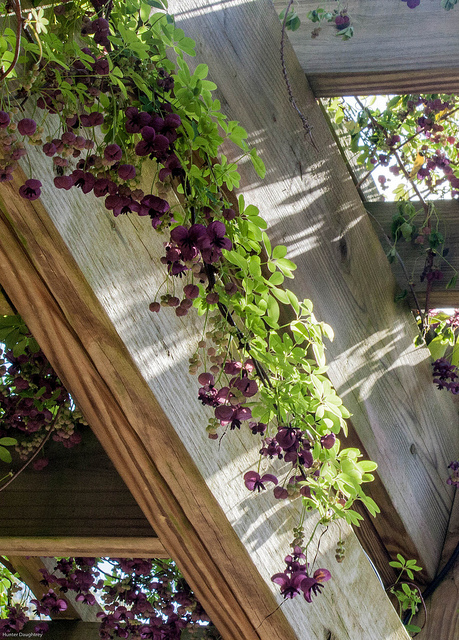Plant These Fast Climbing Vines gardening summer privacy shade climbing1