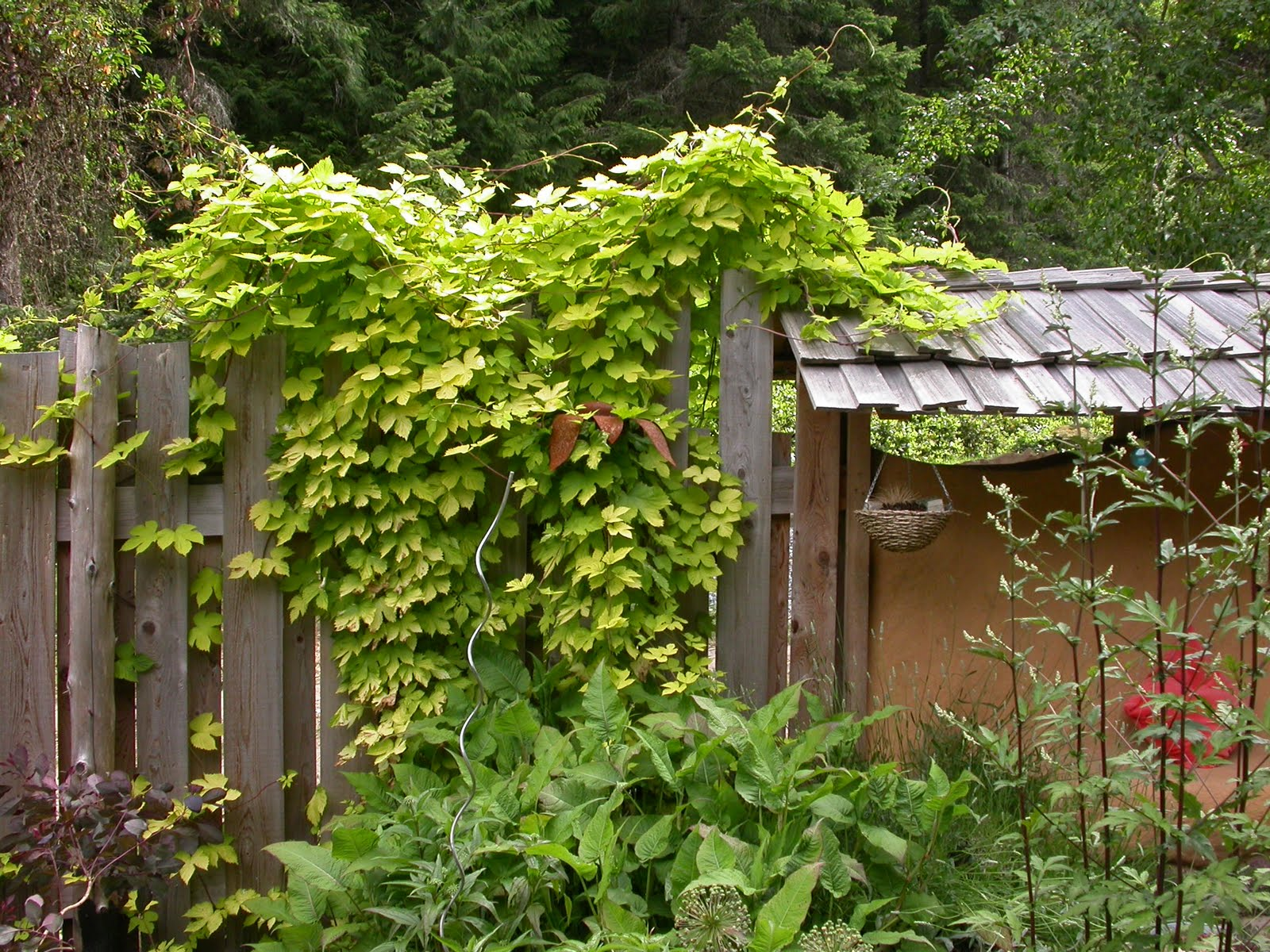 Plant These Fast Climbing Vines gardening summer privacy shade climbing4