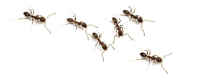 ant pests removal how to